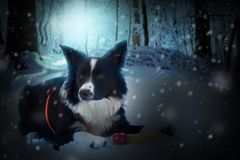 Grens Collie Puppy Playing in de sneeuw Royalty-vrije Stock Foto