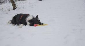 Grens Collie Puppy Playing in de sneeuw Stock Fotografie