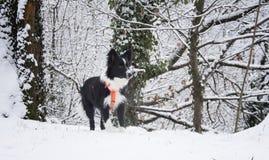 Grens Collie Puppy Playing in de sneeuw Stock Afbeelding