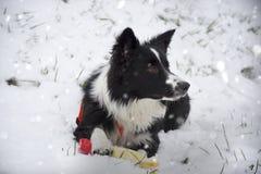 Grens Collie Puppy Playing in de sneeuw Stock Afbeeldingen