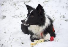 Grens Collie Puppy Playing in de sneeuw Stock Foto