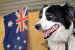 Grens Collie Sheep Dog Stock Afbeelding