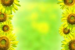 Grens met zonnebloemen op een groene achtergrond Stock Afbeeldingen