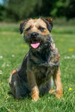Grens Terrier Stock Fotografie