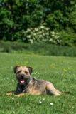 Grens Terrier stock afbeeldingen