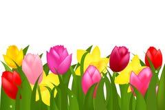 Grens van de Tulpen en Narcissuses van de Lente Royalty-vrije Stock Afbeelding