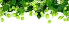 Grens van groene hoptakken op witte achtergrond brewing stock afbeelding