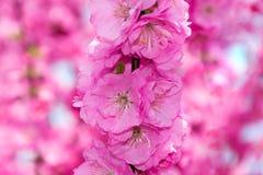 Grens van tot bloei komende roze de boomtakken van de sacurakers in tuin Royalty-vrije Stock Afbeeldingen