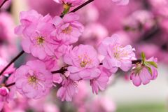 Grens van tot bloei komende roze de boomtakken van de sacurakers in tuin Stock Foto's