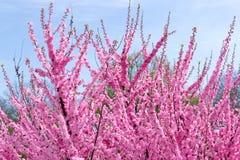 Grens van tot bloei komende roze de boomtakken van de sacurakers in tuin Royalty-vrije Stock Foto's