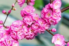 Grens van tot bloei komende roze de boomtakken van de sacurakers in tuin Stock Fotografie