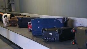 Grenshond op een transportband bij de luchthaven stock footage