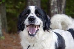 Grenz-Collie Great Pyrenees gemischter Zuchthund lizenzfreie stockfotografie