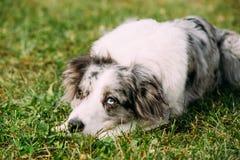 Grenz-Collie Or Scottish Sheepdog Adult-Hund, der in grünem GR sitzt stockfotos