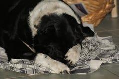 Grenze Collie Kelpie Pet Sleeping lizenzfreie stockbilder