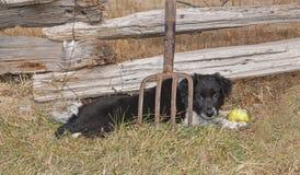 Grenze Collie Puppy Lying Behind Pitchfork stockfotos