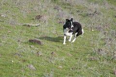 Grenze Collie Running in einer Wiese, die herauf Schafe rundet stockfotografie