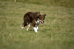 Grenze Collie Running While Herding Sheep Lizenzfreies Stockbild