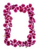 Grenze der blühenden purpurroten Pelargonienblume des Samts wird an lokalisiert Stockfotos