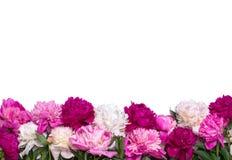 Grenze von den Pfingstrosen lokalisiert auf einem weißen Hintergrund Blumenauslegung? Hintergrund, Hintergrund, Auslegung der Abb Stockfotografie