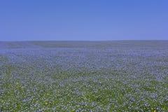 Grenzenlose Ausdehnungen von Feldern mit blauem Flachs blüht Lizenzfreie Stockfotos