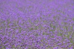 Grenzenloses Acker-Stiefmütterchen in der Farbe, Blumenhintergrund, lila Blumen Lizenzfreie Stockfotos