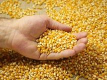 Grões do milho na palma Imagens de Stock