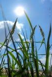 Gresses för lång gräsplan med blå himmel Fotografering för Bildbyråer
