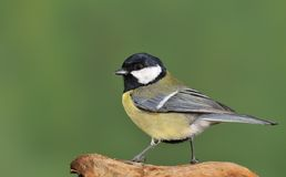 Gret tit. Royalty Free Stock Photography