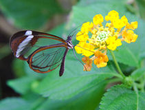 Greta Oto butterfly with transparent wings feeds. On a flower royalty free stock images