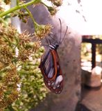 Greta oto motyl z przejrzystym kryształem uskrzydla obwieszenie od kwiatów Zdjęcie Stock
