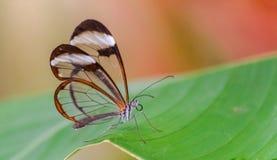 Greta Oto motyli odpoczywać na zielonym liściu zdjęcie stock