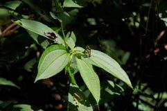 Greta oto szkła skrzydła motyli obsiadanie na zielonym liścia up zakończeniu Fotografia Royalty Free