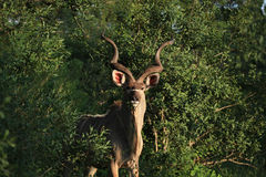 Greter Kudu en stationnement national de Kruger Photo stock