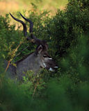 Greter Kudu en stationnement national de Kruger Photographie stock