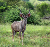 Greter Kudu en stationnement national de Kruger Image libre de droits