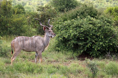 Greter Kudu en stationnement national de Kruger Photos libres de droits