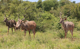 Greter Kudu en stationnement national de Kruger Images stock