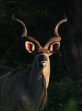 Greater Kudu in Kruger National Park Royalty Free Stock Images