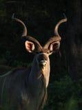 Greter Kudu nel parco nazionale di Kruger Immagini Stock Libere da Diritti