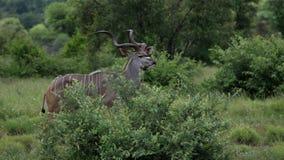 Greter Kudu nel parco nazionale di Kruger Immagine Stock Libera da Diritti