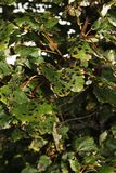 Gretna Green. Tar spot on maple leaves. Gretna Green, Dumfriesshire, Scotland, UK Royalty Free Stock Photos