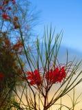 Grevilla blomningbuske Arkivbild