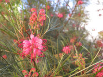 Grevilla blomningbuske Arkivfoton