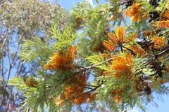 Grevillea饱满的澳大利亚银桦树结构树 图库摄影