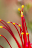 Grevillea Stock Photos
