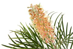 Grevillea Royalty Free Stock Images