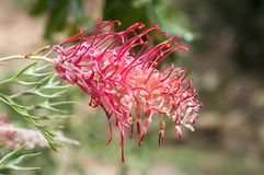 Grevillea banksii amazing flowering tropical tree. Grevillea banksii, Red silky oak, Dwarf silky oak, Banks grevillea, Byfield waratah, Kahili flower in bloom in Stock Images