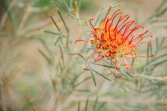 Grevillea bipinnatifida, fuksja Grevillea w królewiątkach parki, Perth, WA, Australia zdjęcie royalty free