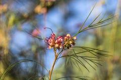Grevillea blomma i solen Royaltyfri Fotografi